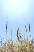 Cattail and blue sky — Stock Photo