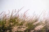 White wild grasses — Stock Photo