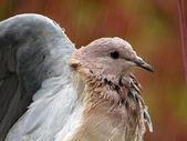 Wet pigeon — Stock Photo