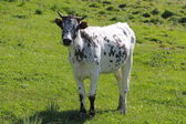 Speckled cow — Stock Photo