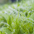 Drops of dew on the grass — Stock Photo #65502143