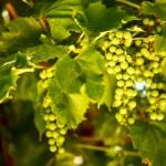 Grape vine — Stock Photo #80662428