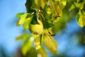 Green apple on the branch — Stock Photo