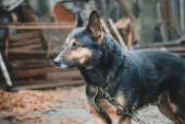 Dirty dog on a leash — Stock Photo