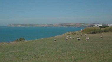 Sheeps at Normandy hills France — Vídeo Stock