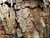 Texture of rotten shrunk dry wood — Stock Photo