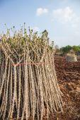 Early varieties of cassava  — Stock Photo