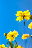 黄波斯菊花卉 — 图库照片