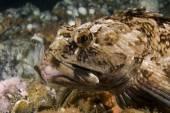 Pacific Ocean Underwater Scuba Diving — Stock Photo