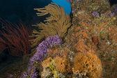 Underwater California Kelp Forest — Stockfoto