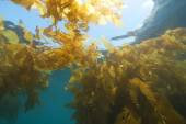 Underwater California Kelp Forest — Stock Photo