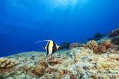 Hawaii Tropical Fish — Foto Stock