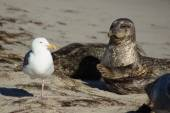 Harbor Seal and sea gull at San Diego Beach — Stock Photo