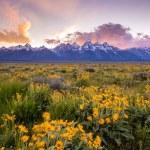 Flowers of  Grand Tetons — Stock Photo #74967515