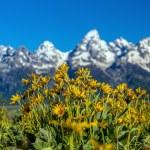 Flowers of  Grand Tetons — Stock Photo #74968077