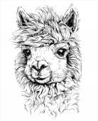 Realistic sketch of LAMA Alpaca — Stock Vector