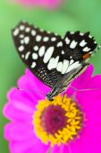 Lime butterfly on flower — Stock Photo
