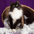 Black and white fluffy cat sitting on a lace veil near the basket. Purple background. — Stock Photo #59322459