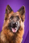 Portrait of a German Shepherd. Purple background. — Stock Photo