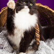 Black and white fluffy cat sitting near the basket. Purple background. — Stock Photo #60267563