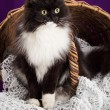 Black and white fluffy cat sitting near the basket. Purple background. — Stock Photo #60267595