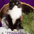 Black and white fluffy cat sitting near the basket. Purple background. — Stock Photo #60267621