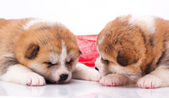 Japanese Akita-inu puppy sleep over white background — Stock Photo