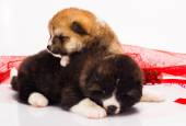 Couple of Japanese Akita-inu puppies lying over white background — Stock Photo