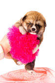 Akita-inu, akita inu dog puppy — Stock Photo