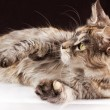Maine coon cat on black brown background — Stock Photo #65641037