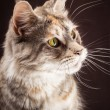 Maine coon cat on black brown background — Stock Photo #65717991