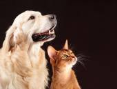 Cat and dog, abyssinian kitten , golden retriever looks at right — Stock Photo