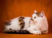 Scottish tortoiseshell and white straight kitten portrait. — Stock Photo