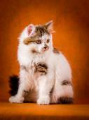 Scottish tortoiseshell and white straight kitten portrait. — Stock Photo