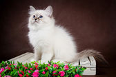 Neva masquerade kitten on brown background — Stock Photo