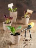 Vegetable seedlings — Stock Photo