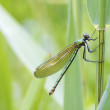 Banded demoiselle — Stock Photo #51968133