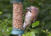 Jay at feeder — Foto Stock
