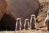 Meerkats standing together — Zdjęcie stockowe