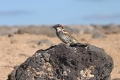 Sparrow from canary islands — Stock Photo