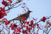 Fieldfare with red berries — Stock Photo