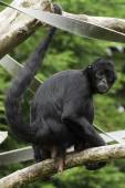 Black Spider Monkey — Stockfoto