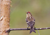 Redpoll on a branch — Stock Photo