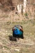 ブルー孔雀 — ストック写真