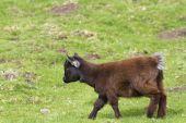 Kozy karłowate — Zdjęcie stockowe