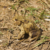 Large Toad — Stock Photo