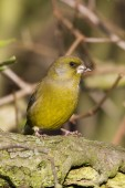 Greenfinch preched  on branch — Stockfoto