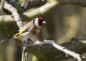 Goldfinch on branch — Stock Photo