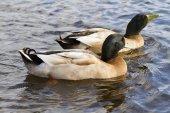 鸭子在湖上 — 图库照片