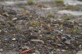 Kar kiraz kuşu — Stok fotoğraf